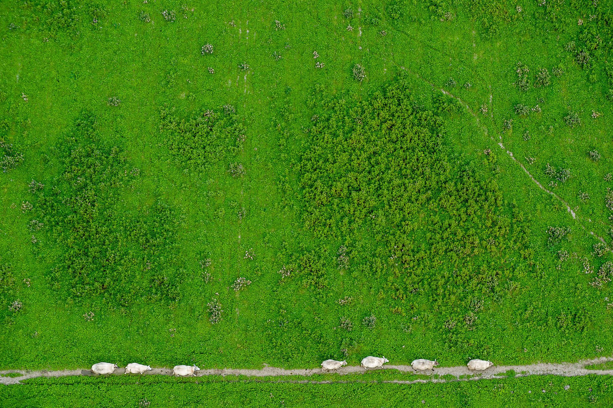 Blick von oben hinunter auf auf eine Herde Kühe
